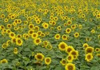 Veld van zonnebloemen